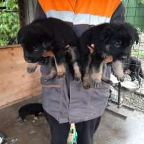 Продаются щенки Немецкой овчарки, в Белой Калитве