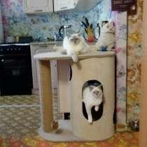 Кошечки породы Рэгдолл (кошка-кукла), в Екатеринбурге