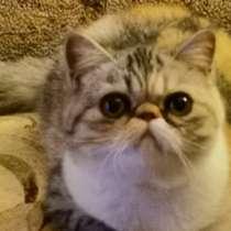 Ищу кота Экзота для вязки, в г.Таллин