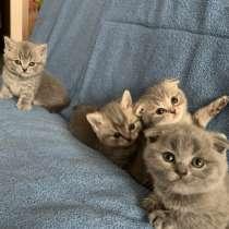 Шотландские котята, в Брянске