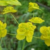 Володушка золотистая - уникальное лекарственное растение, в Томске