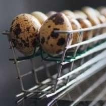 Инкубационное яйцо перепела, в г.Донецк