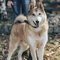 Западно-сибирская лайка Буч – шикарный пес ищет семью!, в Москве