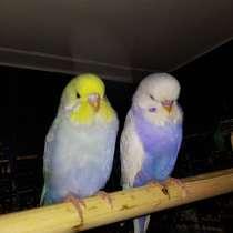 Волнистые попугаи Чехи -Птенцы, в Москве