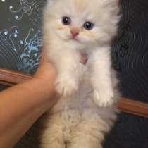 Персидский классический котик, в Москве