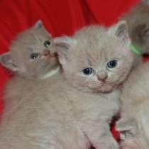 Шотландские чистокровные котята, в г.Баку
