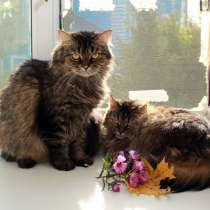 Котик Миша и кошечка Маша. Пуховики-сибиряки в добрые руки, в Калуге