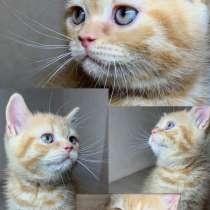 Британские котята - British kittens, в г.Гомель