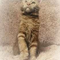 Котик мейн-кун, 4 мес, в Новосибирске