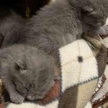 Британские котята, в Красноярске