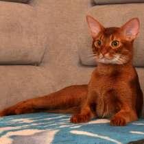Абиссинский кот в Гомеле на вязку, в г.Гомель