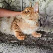 Котёнок мейн-кун, в г.Гомель