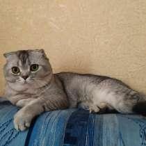 Вязка Шотландского кота, в Костроме