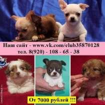 Чихуа-хуа милые щенки разных окрасов, в Иванове