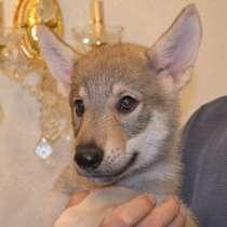 Щенки чехословацкой волчьей собаки, девочка, 2 месяца, в Брянске