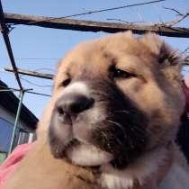 Продаются щенки алабая, в г.Комрат