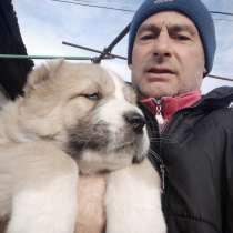 Продаются щенки алабая хороших кровей, в г.Кишинёв