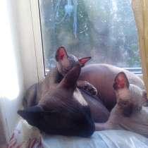 Котята канадского сфинкса, в г.Витебск