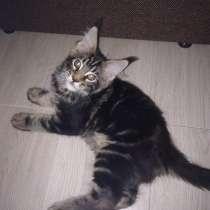 Котята мейн-кун, в Самаре