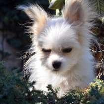 For sale puppy chihuahua, в г.Николаев