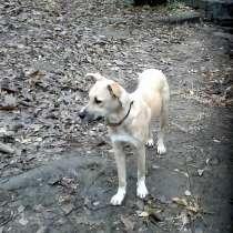 Прекрасная годовалая собака - метис амстаффа, в г.Макеевка