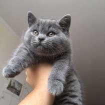 Британский котенок, в Тольятти