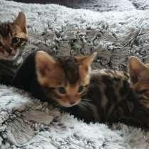Бенгальские котята бе, в г.Emstek