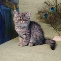 Экзотические котята exotic kittens, в г.Пекин