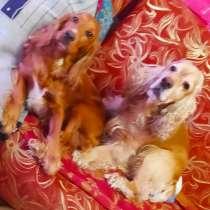 Продам шикарных щенков, в Губкине