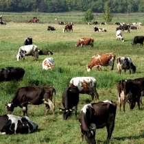 Коровы бычки телята Хабаровске, в Хабаровске