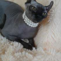 Продаются котята породы донской сфинкс, в Спасске-Дальнем