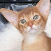 Абиссинские котята, в г.Минск