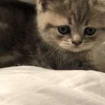 Продаются чистокровные котята британской породы, в г.Висбаден