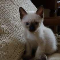 Отдам тайских котят в добрые руки, в Жуковском