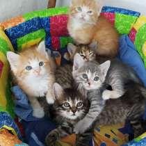 Котята 1.5 месяца, в Симферополе