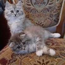 Продаю котят британской вислоухой, в Москве