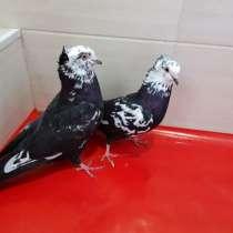 Продам голубей порода Ростовские Статные, в г.Комрат
