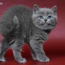 Клубные котята питомника, в Москве
