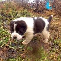 Продам щенков сао, в Петрозаводске
