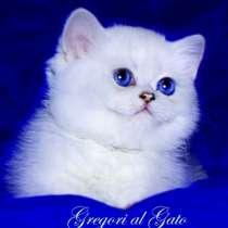 Британские котята шиншиллы с голубыми и синими глазками, в Москве