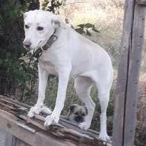 Отдам собаку Лабрадор, в г.Мелитополь