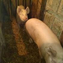 Свиноматки, в Кемерове