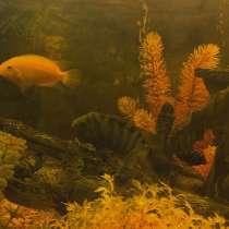 Продам рыбок Цихлид, в Москве