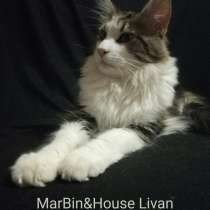 Продажа котят мейн кун из Луганского питомника MarBin&House, в г.Луганск