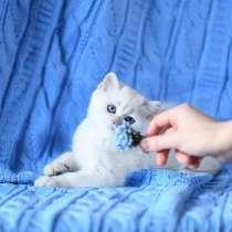 British Shorthair Femele ns 1133.Sapphire eyes, в г.Сиэтл