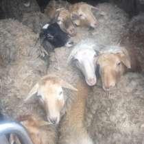 Овцы, в Новомосковске