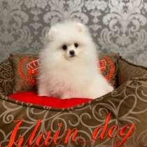 Белые щенки померанского шпица от Ирлайн-дог, в Москве