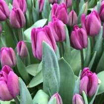 Продам тюльпан к 8 марта оптом, в Краснодаре