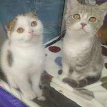 Продаются шотландские котята, в Перми