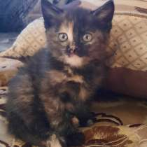 Котята девочка 3-х цветная Вишенка, в Гатчине